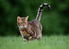 Bengal Cat Outise Stock Photo