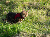 Bengal cat outside on a leash harness eating grass Royalty Free Stock Photo