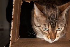 Bengal cat peering through cardboard box Royalty Free Stock Images