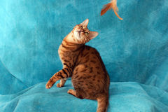 Bengal cat playing. An adult male bengal cat playing with fether toy against blue background Royalty Free Stock Photo
