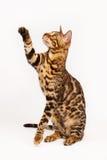 Bengal Cat playing Stock Image