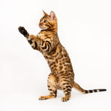 Bengal Cat playing Stock Photos