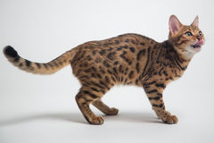Bengal cat playing on white background Royalty Free Stock Image
