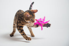Bengal cat playing on white background Royalty Free Stock Photography