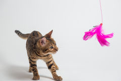 Bengal cat playing on white background Royalty Free Stock Images
