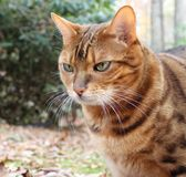 Bengal Cat. Portrait of a Bengal Cat Royalty Free Stock Photo