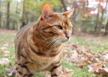 Bengal Cat. Portrait of a Bengal Cat Stock Image