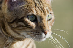 Bengal cat portrait Stock Image