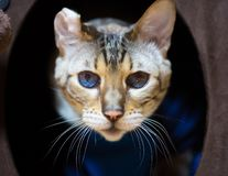 Bengal Cat Portrait with Disfigured Ear. Bengal Cat Portrait closeup with Disfigured Ear and blue eyes royalty free stock images