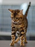 Bengal cat portrait. Pedigree Cat Stock Photos