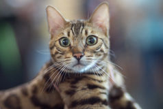 Bengal cat portrait. Pedigree Cat Royalty Free Stock Photos