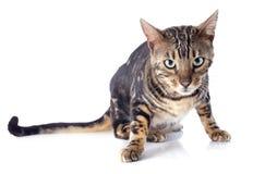 Bengal cat Stock Images