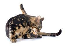 Bengal cat Stock Photo