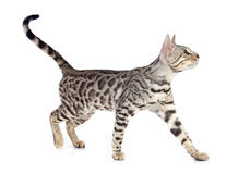 Bengal cat Stock Image