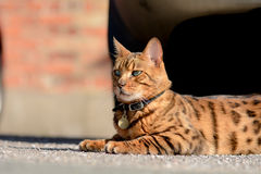 Bengal cat portrait whilst sunbathing Royalty Free Stock Photos