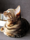 Bengal cat: Bengal cat profile taken at home Stock Photos