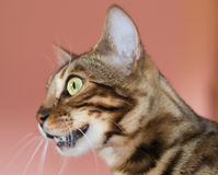 Bengal cat profile Stock Photos