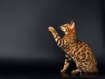 Bengal Cat Raising up Paw on Black background Royalty Free Stock Photos
