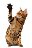 Bengal cat raising up paw Stock Images