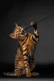 Bengal Cat Raising Up Paw with opened mouth Royalty Free Stock Photography