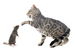 Bengal cat and rat Stock Photo