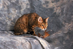 Bengal cat ready to pounce Royalty Free Stock Photos