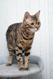 Bengal cat ready to pounce Stock Photo