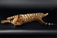 Bengal Cat Rest på svart bakgrund Arkivfoto