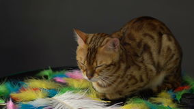 Bengal cat resting stock video footage