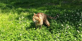 Bengal cat running in the lush grass stock photography