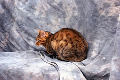 Bengal cat side view. Side view of beautiful bengal cat laying down in front of a mottled grey background Royalty Free Stock Image
