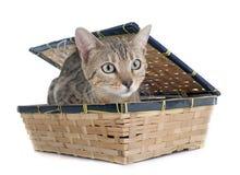 Free Bengal Cat Silver Royalty Free Stock Photos - 53377898