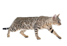 Bengal cat silver Stock Photo