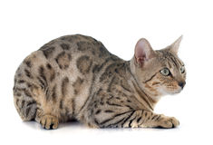 Bengal cat silver Stock Image