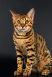 Bengal Cat Sits and Curious Looking on Black Royalty Free Stock Photography