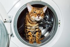 A Bengal cat sits inside a white washing machine stock image
