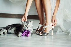 The bengal cat sits near bride, she touch cat royalty free stock photo