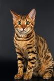 Bengal Cat Sits och nyfiket se på svart royaltyfri fotografi