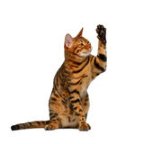 Bengal cat sits and raising up paw like a high five. On white background royalty free stock images