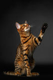 Bengal cat sits and raising up paw Royalty Free Stock Photo