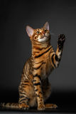 Bengal cat sits and raising up paw Stock Photography