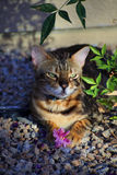 Bengal cat sits in the shade with a flower. The cat has a serenely cute expression. The picture is reflective of cats, cuteness stock photo