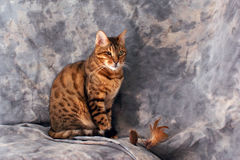 Bengal cat sitting. Against grey background with feathered toy Stock Image