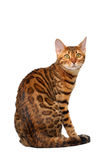 Bengal cat sitting back and turned on white Royalty Free Stock Photo