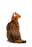 Bengal cat sitting back on white Stock Image