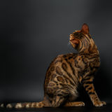 Bengal cat sitting on black Royalty Free Stock Images