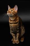 Bengal cat sitting on black Stock Photography