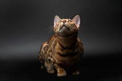 Bengal cat sitting on black Stock Image
