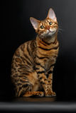 Bengal cat sitting on black and cute looking Royalty Free Stock Photography