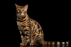 Bengal Cat Sitting on Black Isolated Background, Looking in Camera Stock Photography